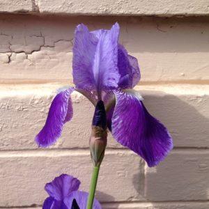 Utah Iris Society